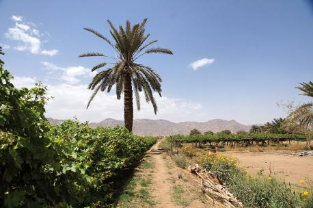 Vineyards in the area of Najran, Saudi Arabia, 2011. Source: Charles Roffey.